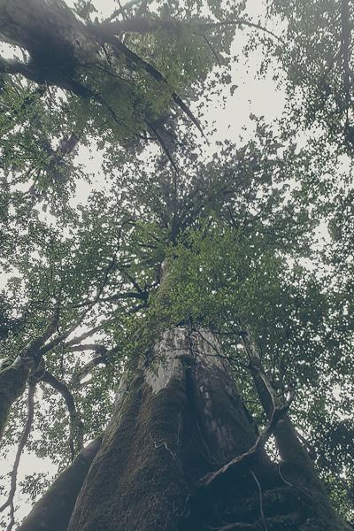 Gamla och höga cerderträd
