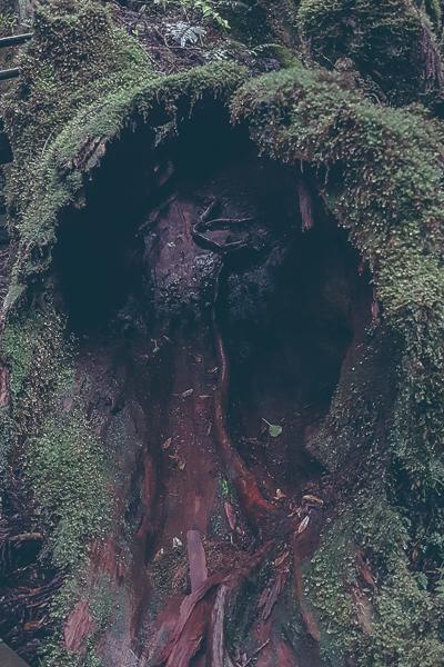 Ihålig gammal trädstam.
